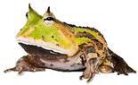 Наземные лягушки