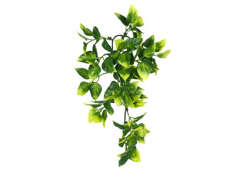 Тропическое растение Амаполо