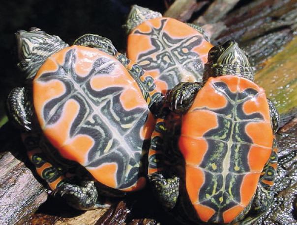 Западная расписная черепаха