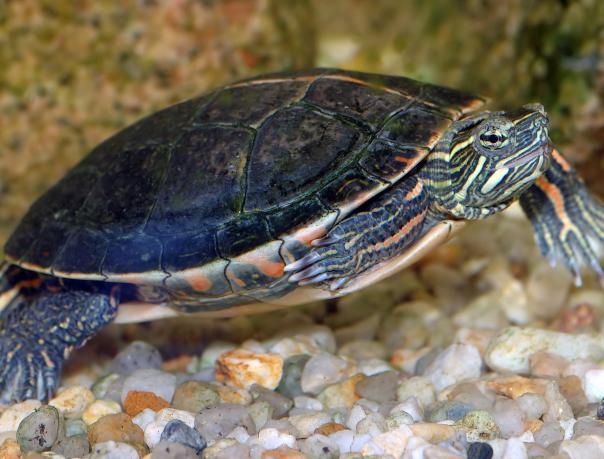 Южная расписная черепаха