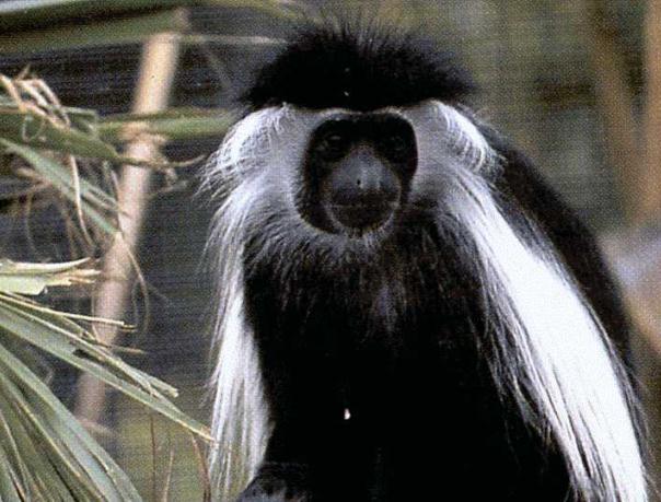 Angola colobus or angolan black-and-white colobus