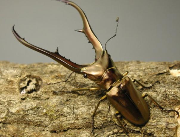 Cyclommatus metallifer